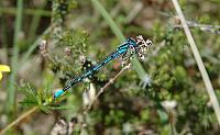 10Enallagma_cyathigerum1.jpg